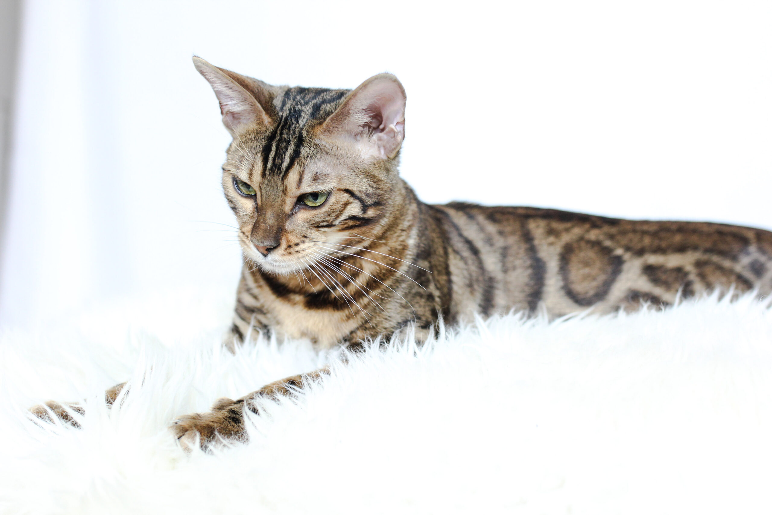 bengal cat laying on white fur
