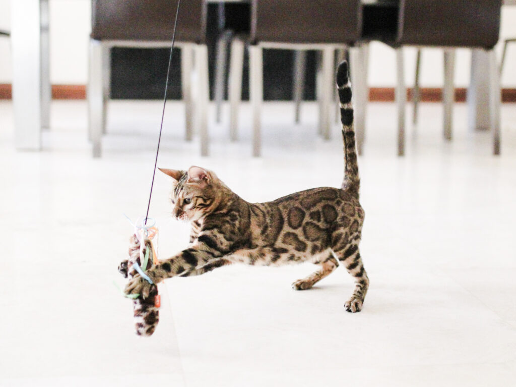 bengal cat playing with toys
