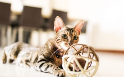 bengal cat with a ball
